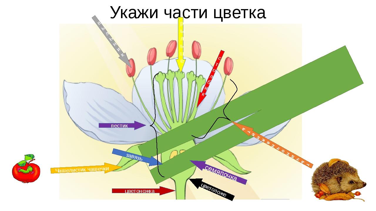 Укажи части цветка Л Е П Е С Т О квенчика тычиночнаянить пыльник Чашелистик ч...