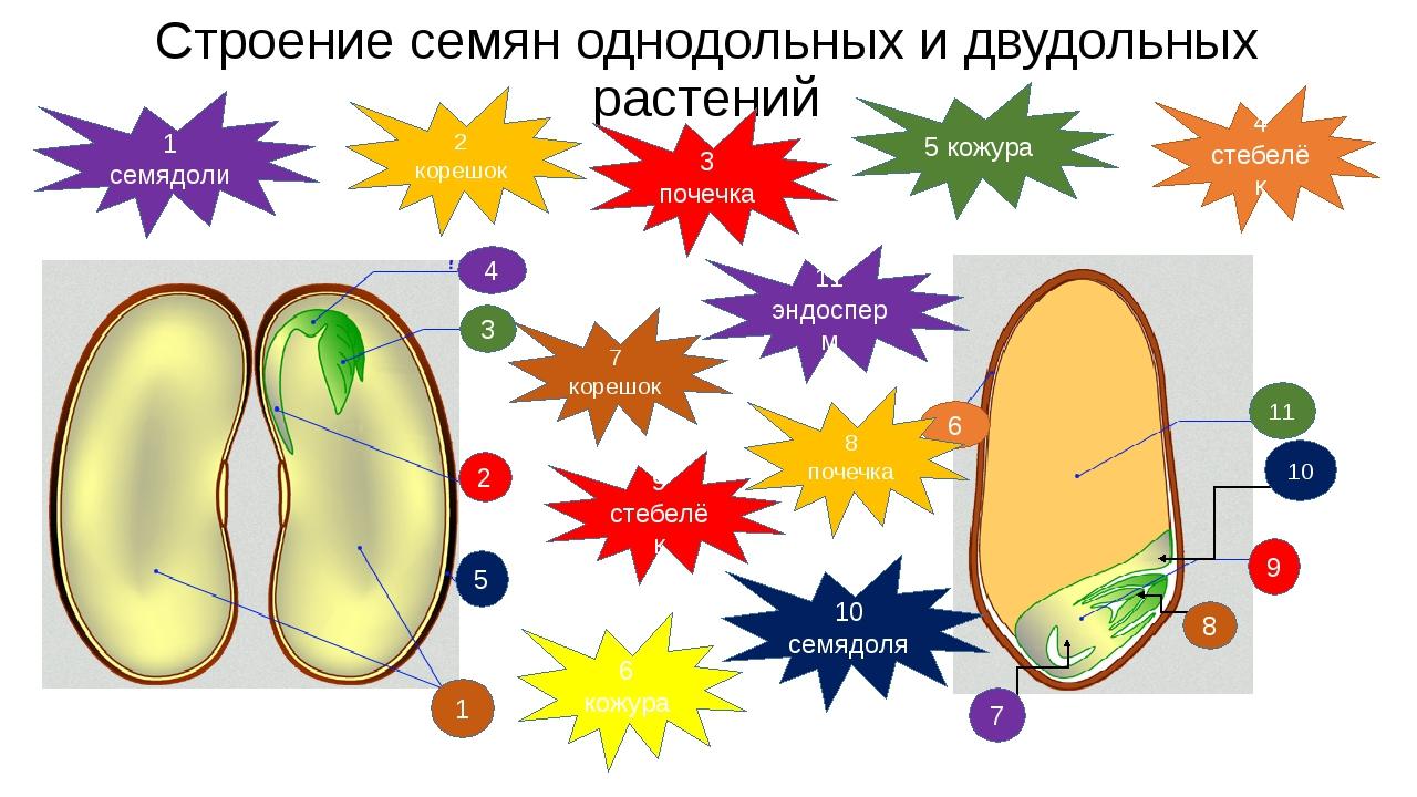 Строение семян однодольных и двудольных растений 1 2 3 4 5 7 8 9 11 10 6 1 се...