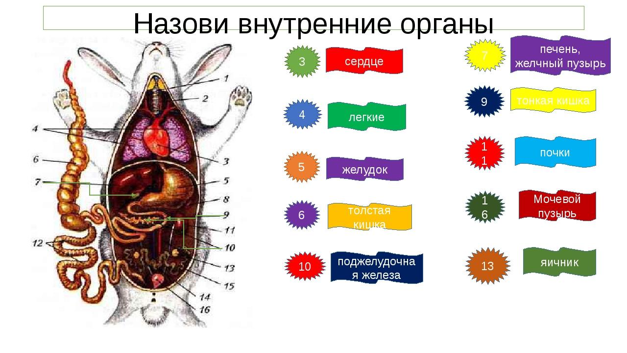 Назови внутренние органы 3 4 5 6 10 сердце легкие желудок толстая кишка подже...