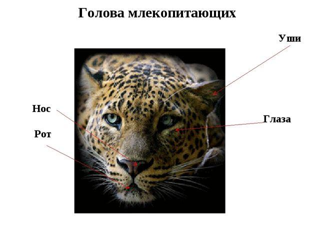 Голова млекопитающих Уши Глаза Рот Нос