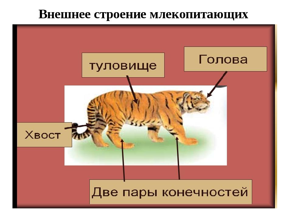 Внешнее строение млекопитающих