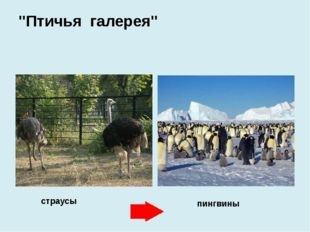"""страусы пингвины """"Птичья галерея"""""""