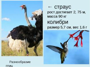 ← страус рост достигает 2, 75 м, масса 90 кг колибри размер 5,7 см, вес 1,6 г