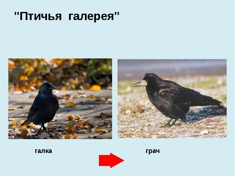 "галка грач ""Птичья галерея"""