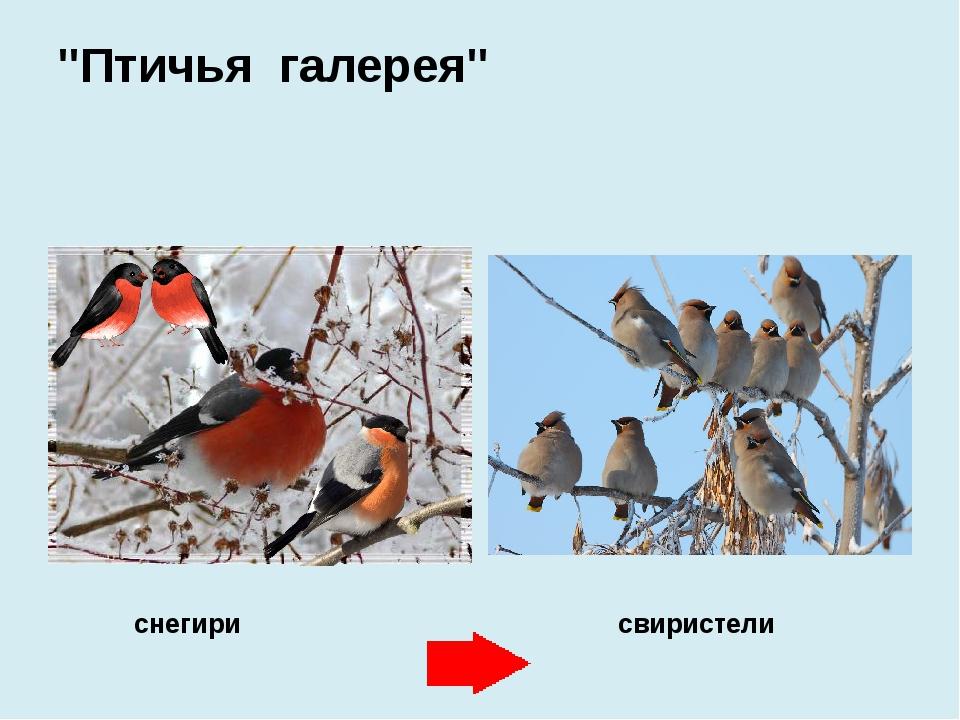 """""""Птичья галерея"""" снегири свиристели"""