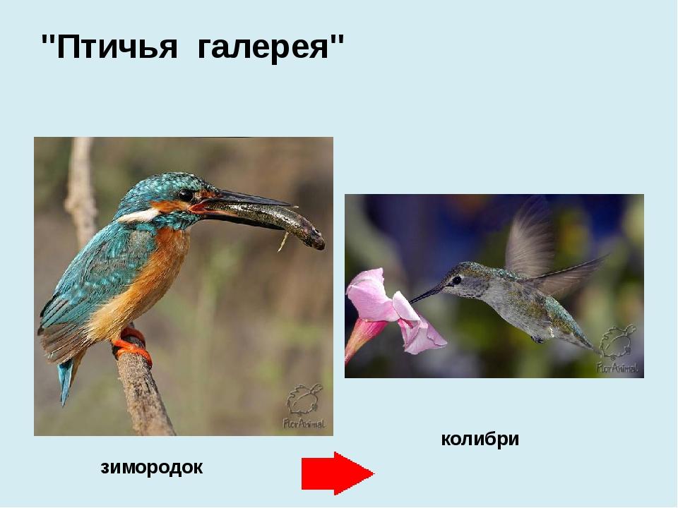 """зимородок колибри """"Птичья галерея"""""""