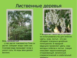 Лиственные деревья У акации нет такой части, которая не использовалась бы для