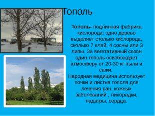 Тополь Тополь- подлинная фабрика кислорода: одно дерево выделяет столько кисл