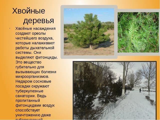 Хвойные деревья Хвойные насаждения создают ореолы чистейшего воздуха, которы...