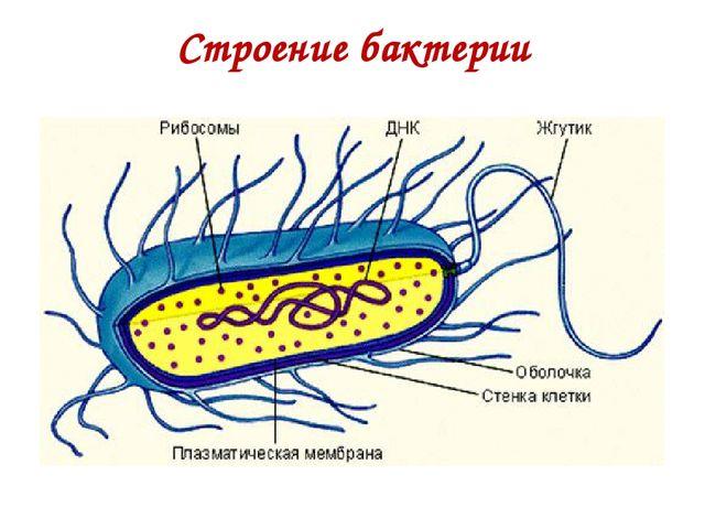 Строение бактерии