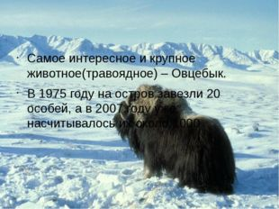 Самое интересное и крупное животное(травоядное) – Овцебык. В 1975 году на ос