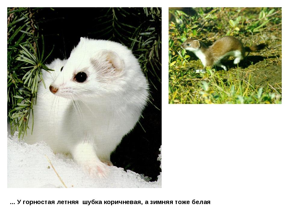 ... У горностая летняя шубка коричневая, а зимняя тоже белая