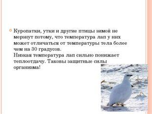 Куропатки, утки и другие птицы зимой не мерзнут потому, что температура лап