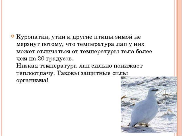 Куропатки, утки и другие птицы зимой не мерзнут потому, что температура лап...