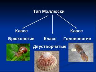 Тип Моллюски Класс Класс Брюхоногие Класс Головоногие Двустворчатые