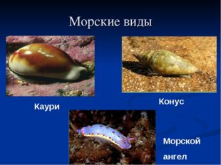 Морские виды Конус Каури Морской ангел