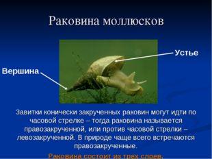 Раковина моллюсков Вершина Устье Завитки конически закрученных раковин могут