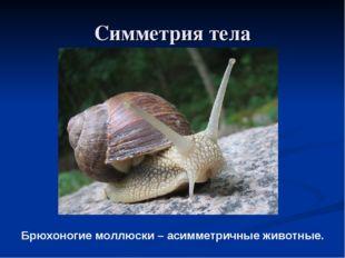 Симметрия тела Брюхоногие моллюски – асимметричные животные.