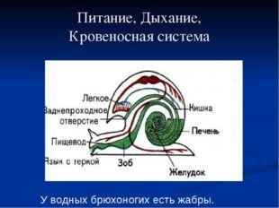 Питание, Дыхание, Кровеносная система У водных брюхоногих есть жабры.