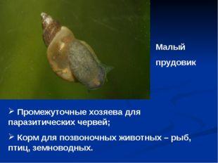 Малый прудовик Промежуточные хозяева для паразитических червей; Корм для позв
