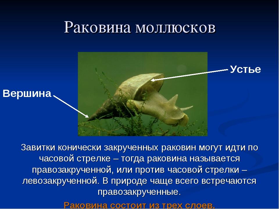 Раковина моллюсков Вершина Устье Завитки конически закрученных раковин могут...