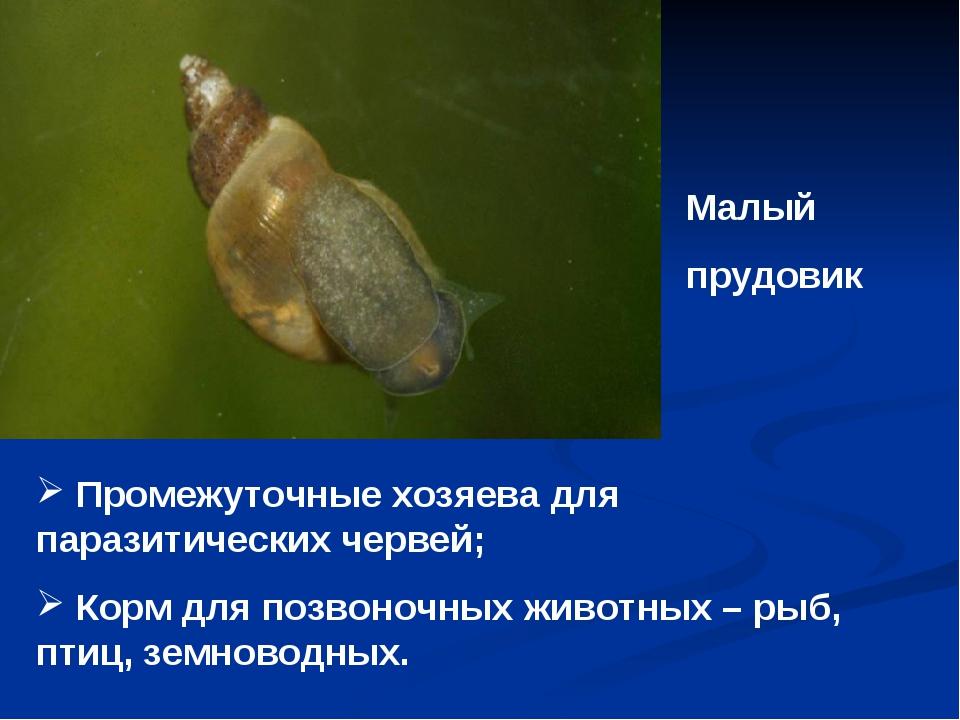 Малый прудовик Промежуточные хозяева для паразитических червей; Корм для позв...
