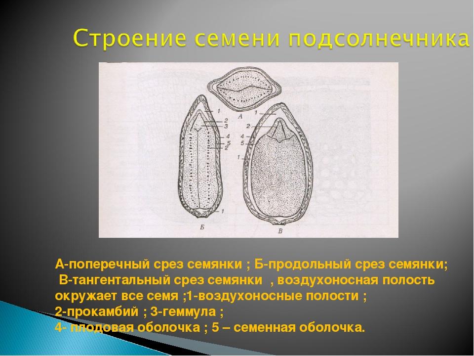 А-поперечный срез семянки ; Б-продольный срез семянки; B-тангентальный срез с...