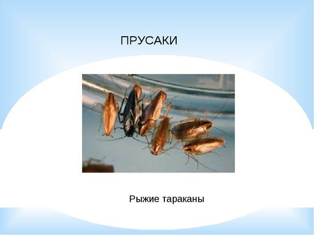 ПРУСАКИ Рыжие тараканы