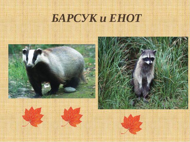 БАРСУК и ЕНОТ