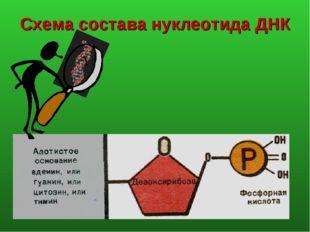 Схема состава нуклеотида ДНК