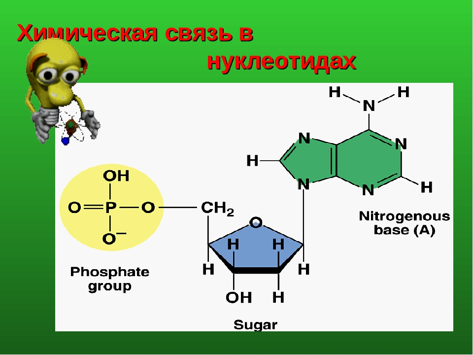 Химическая связь в нуклеотидах