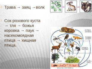 Трава → заяц →волк Сок розового куста → тля → божья коровка → паук → насеком
