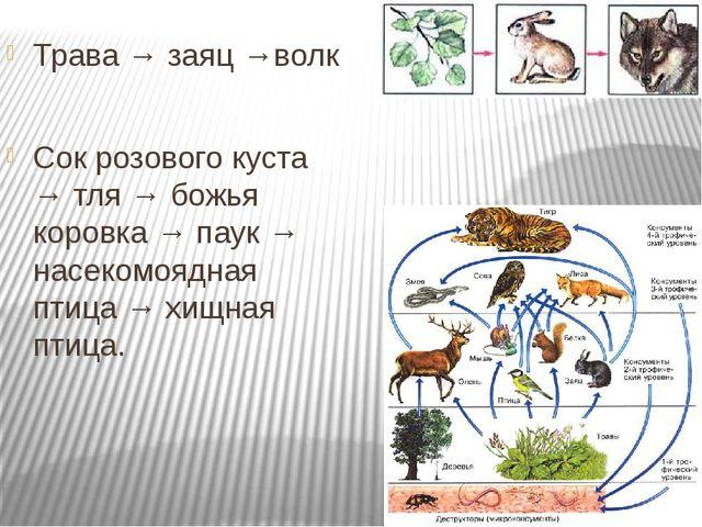 Трава → заяц →волк Сок розового куста → тля → божья коровка → паук → насеком...