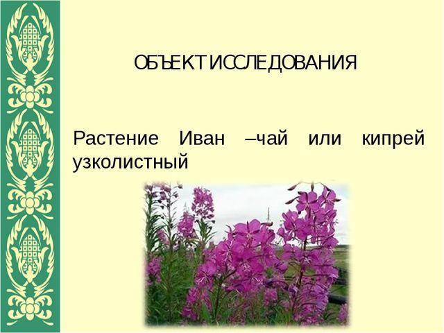 ОБЪЕКТ ИССЛЕДОВАНИЯ Растение Иван –чай или кипрей узколистный