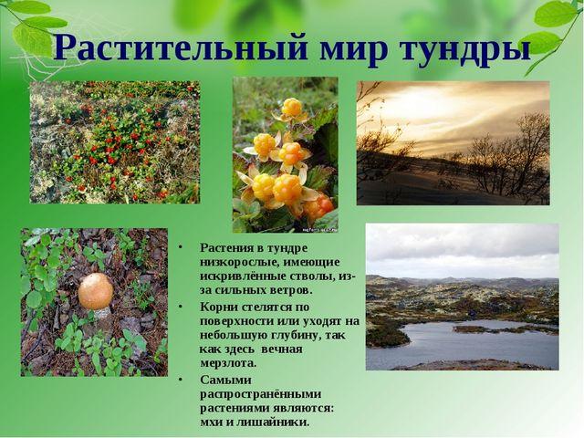 Растения в тундре низкорослые, имеющие искривлённые стволы, из-за сильных вет...