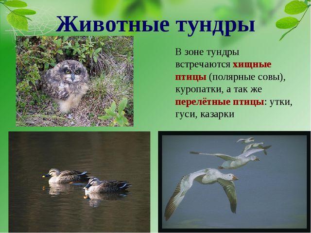 В зоне тундры встречаются хищные птицы (полярные совы), куропатки, а так же п...