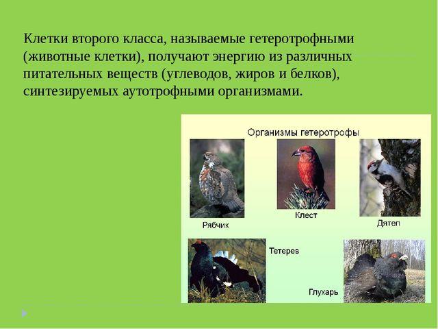 Клетки второго класса, называемые гетеротрофными (животные клетки), получают...