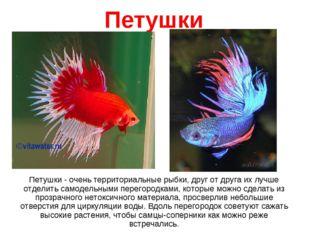 Петушки Петушки - очень территориальные рыбки, друг от друга их лучше отделит
