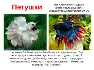 Петушки Но, каким бы большим ни был Ваш аквариум, помните: без перегородок в