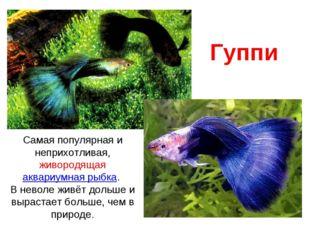 Гуппи Самая популярная и неприхотливая, живородящая аквариумная рыбка. В нево