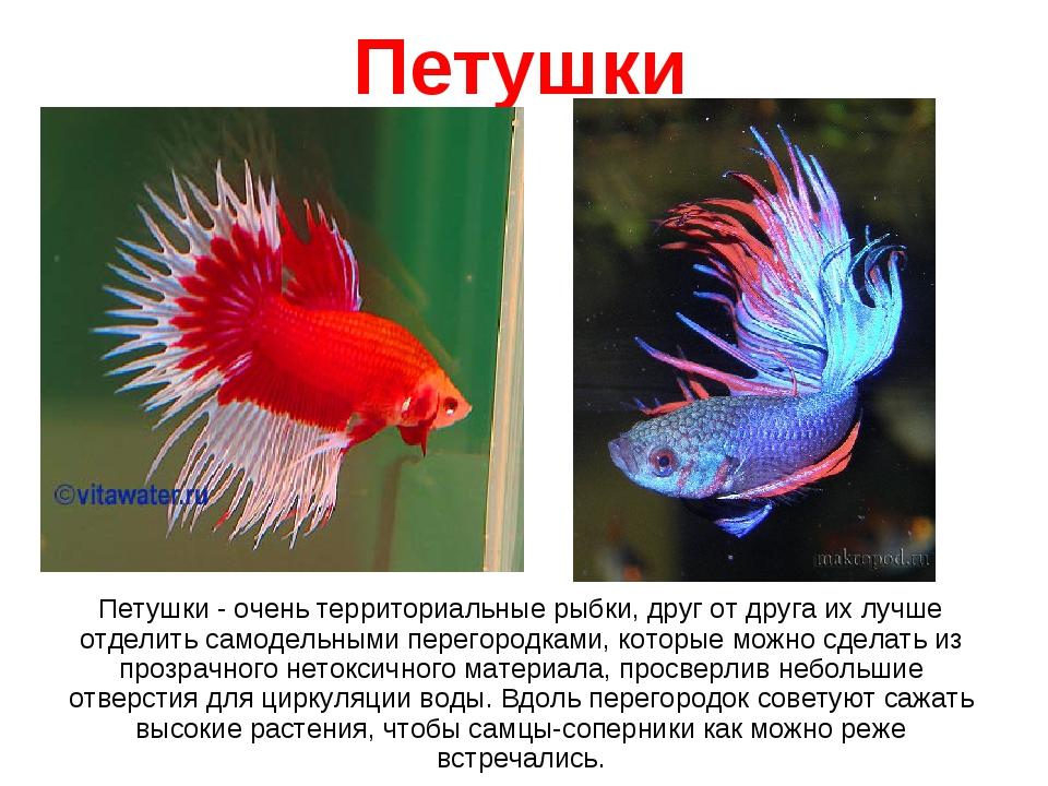 Петушки Петушки - очень территориальные рыбки, друг от друга их лучше отделит...