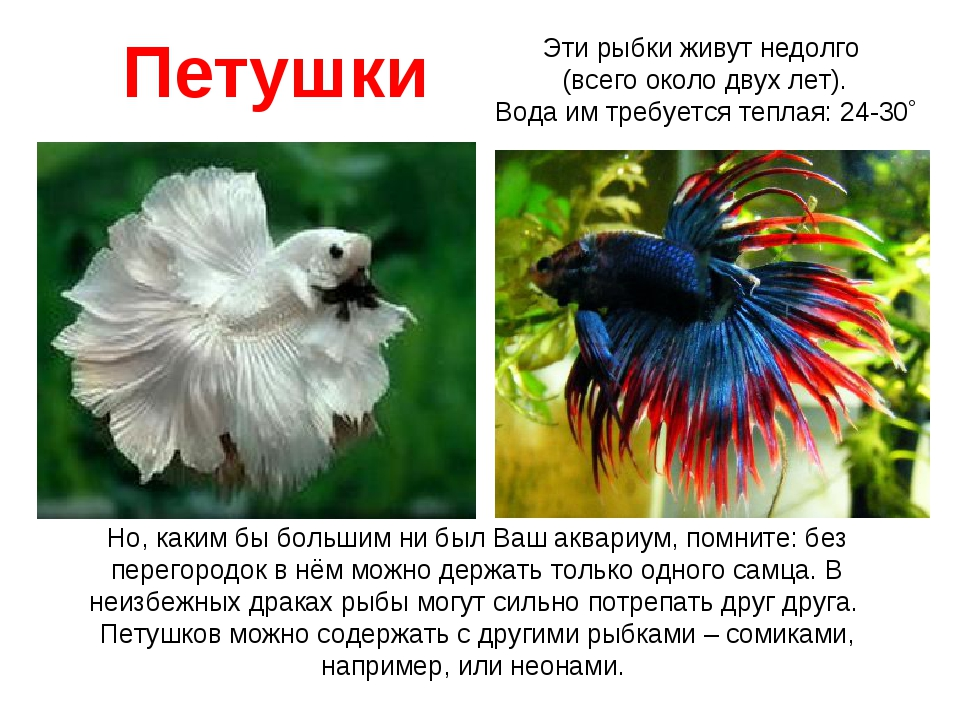 Петушки Но, каким бы большим ни был Ваш аквариум, помните: без перегородок в...
