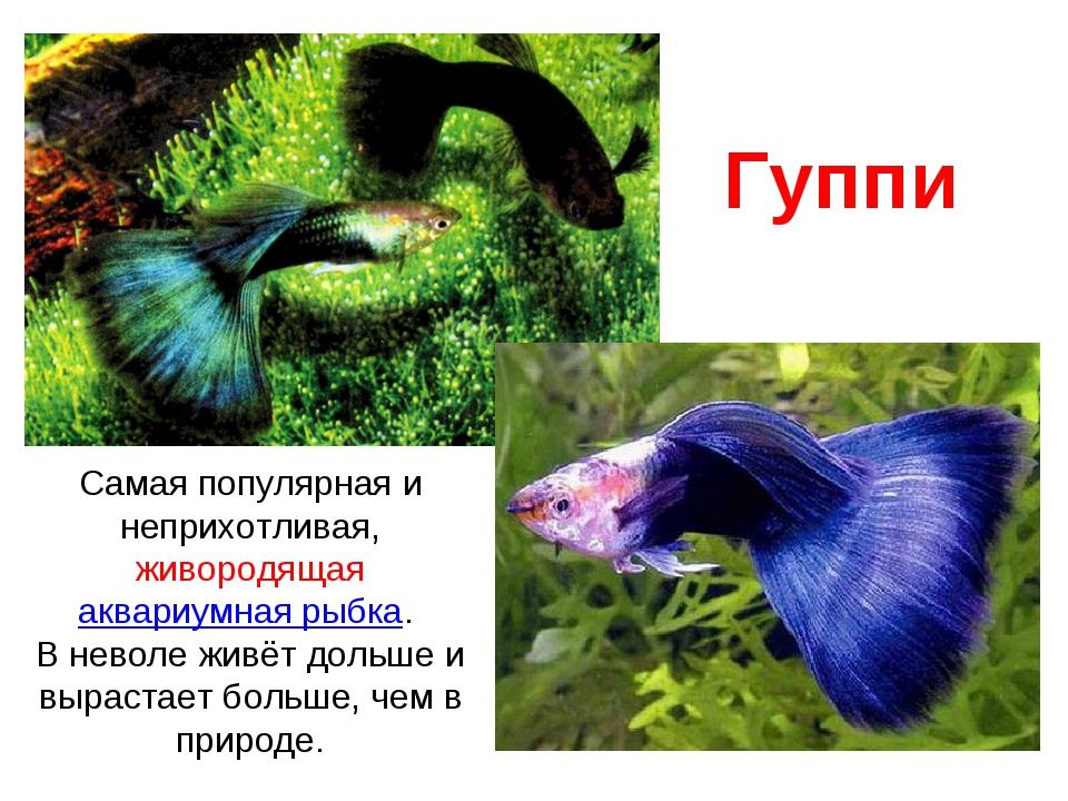 Гуппи Самая популярная и неприхотливая, живородящая аквариумная рыбка. В нево...