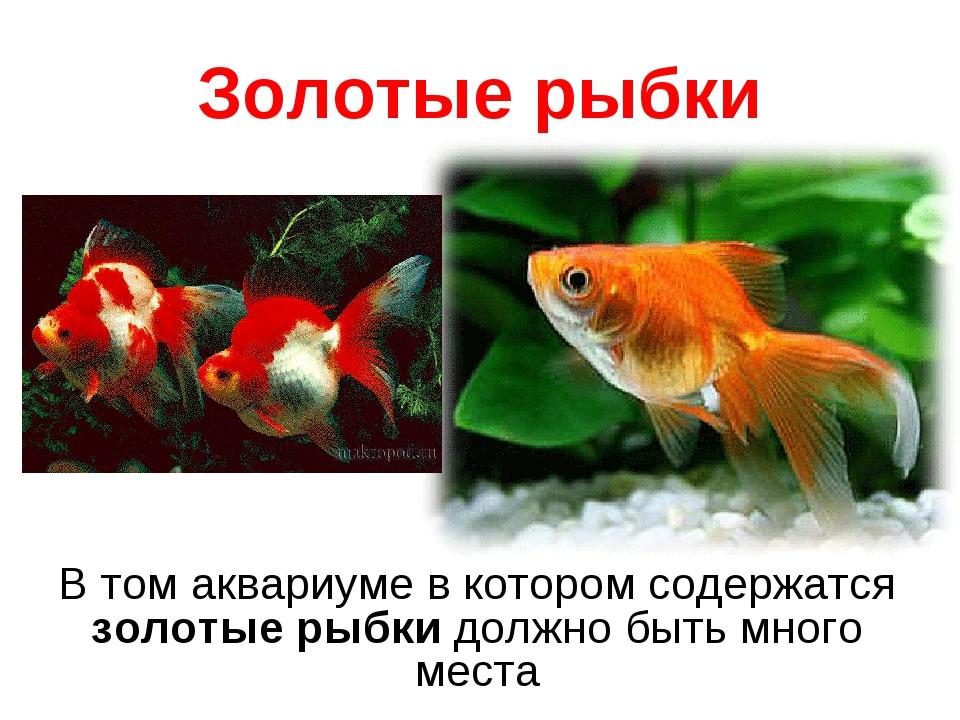 Золотые рыбки В том аквариуме в котором содержатся золотые рыбкидолжно быть...