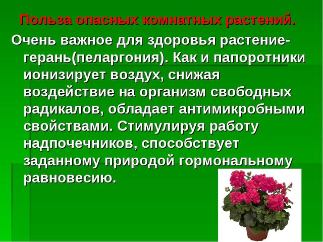 Польза опасных комнатных растений. Очень важное для здоровья растение-герань...
