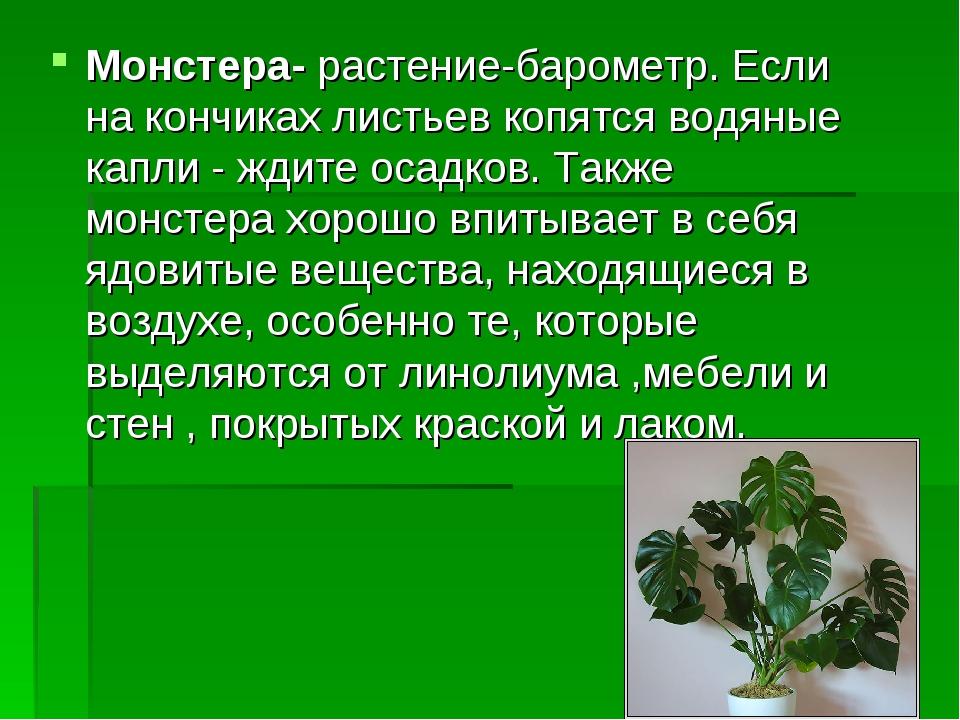Монстера- растение-барометр. Если на кончиках листьев копятся водяные капли -...