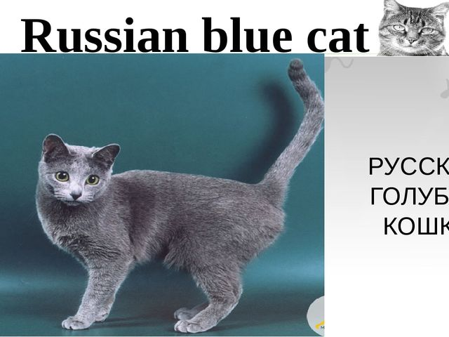 Russian blue cat РУССКАЯ ГОЛУБАЯ КОШКА