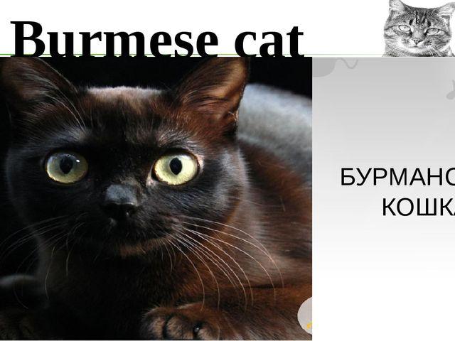 Burmese cat БУРМАНСКАЯ КОШКА