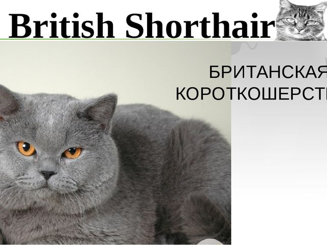 British Shorthair БРИТАНСКАЯ КОРОТКОШЕРСТНАЯ