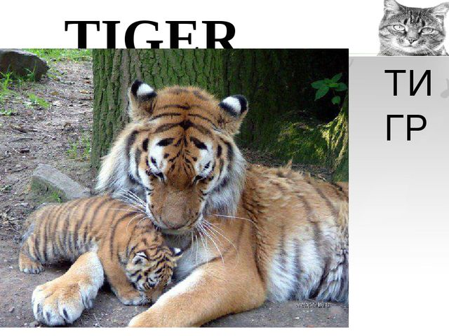 TIGER ТИГР